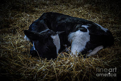 Photograph - New Calf by Ronald Grogan
