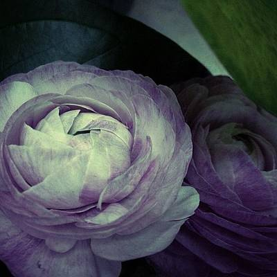 Photograph - New Camelia by Kathleen Messmer
