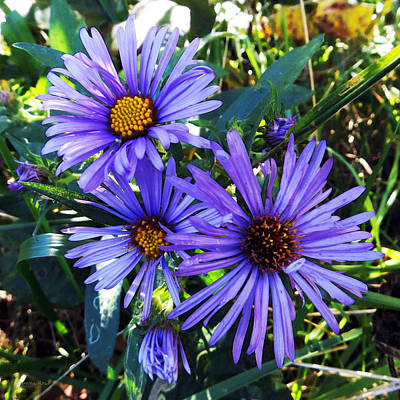 Photograph - New England Aster by Shawna Rowe