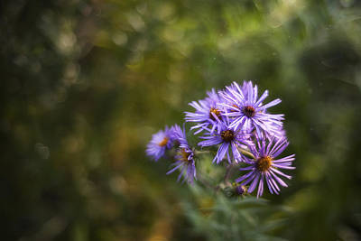Dew Photograph - New England Asters by Scott Norris