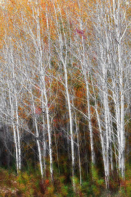 New England Fall Foliage Photograph - New England Autumn Birches by Bill Wakeley