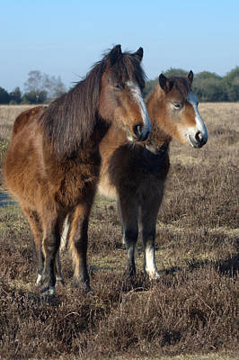 Photograph - New Forest Ponies by Chris Day