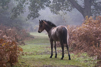 New Forest Pony Print by Dave Pressland FLPA