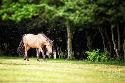 Wildlife Landscape Photograph - New Forest Pony by Jane Rix