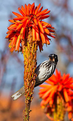 Australian Flowers Photograph - New Holland Honeyeater by Bill  Robinson