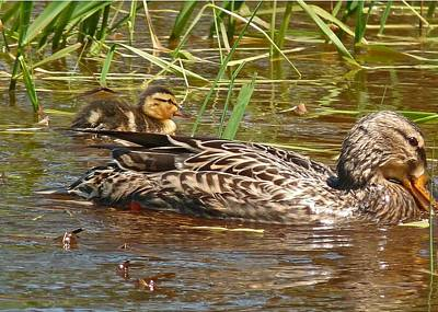 Photograph - New Life Gadwall  by Gracia  Molloy