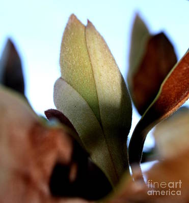 Photograph - New Magnolia by Amanda Holmes Tzafrir