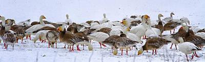 New Melle Snow Geese Art Print by Linda Tiepelman