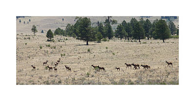 New Mexico Photograph - New Mexico Elk Herd by Jack Pumphrey