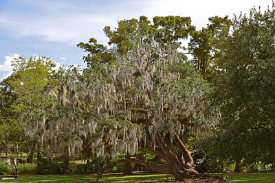 Old Tree Photograph - New Orleans Spanish Moss by Christine Till