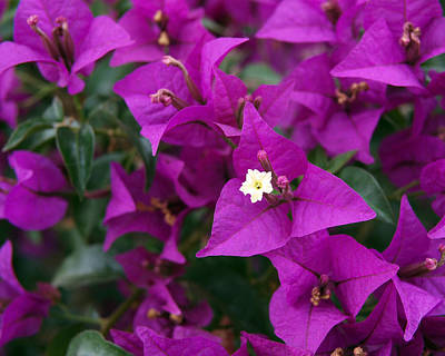 New River Bougainvillea Art Print