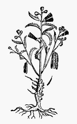 New Spain Beans, 1651 Print by Granger