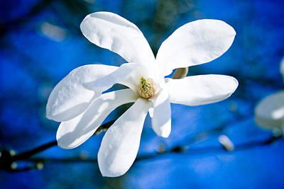 Close Focus Nature Scene Photograph - New White Magnolia Blossom Close Up by Raimond Klavins