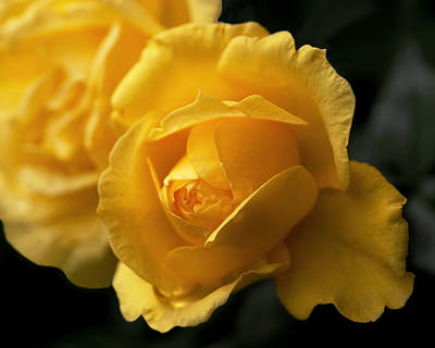 Photograph - New Yellow Rose by Rona Black