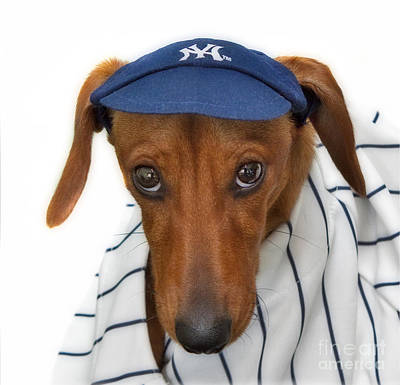 Dachshund Puppy Photograph - New York Yankee Hotdog by Susan Candelario