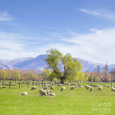 Canterbury Wall Art - Photograph - New Zealand Farmland With Sheep by Colin and Linda McKie