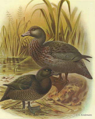 Waterfowl Painting - New Zealand Scaup Or Black Teal And Blue Duck by Rob Dreyer
