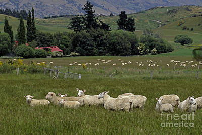 Photograph - New Zealand Sheep Farm by Craig Lovell