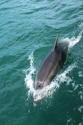 Dolphin Photograph - New Zealand, South Island by Lee Foster