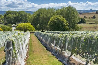 New Zealand Winery Art Print by Sheldon Kralstein
