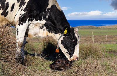 Photograph - Newborn Calf On The Pacific Coast by Kathleen Bishop