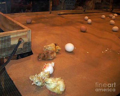 Photograph - Newborn Chicks by Connie Fox