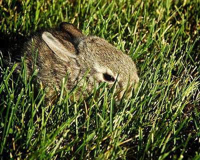 Photograph - The Baby Cottontail by Mary Lee Dereske