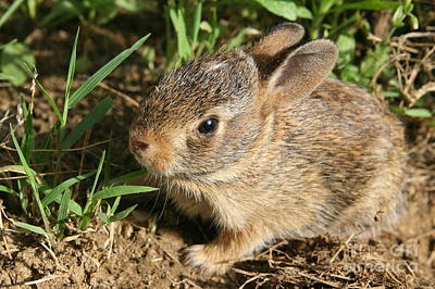 Photograph - Newborn Eastern Cottontail by Neal Eslinger