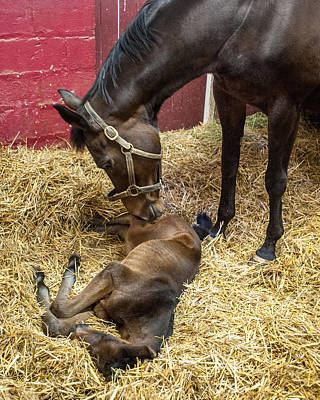 Broodmare Photograph - Newborn Foal In Stall With Mare College by Remsberg Inc
