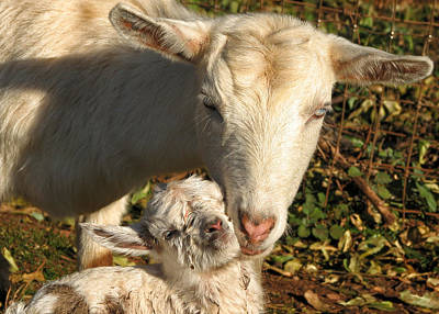 Ranch Life Photograph - Newborn by Kathleen Bishop
