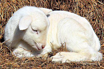 Southern Comfort Photograph - Newborn Lamb by Leslie Kirk