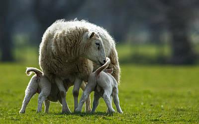 Newborn Lambs With Mum Print by Izzy Standbridge