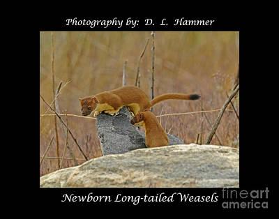 Newborn Long-tailed Weasels Art Print by Dennis Hammer