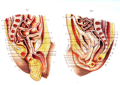 Newborn Male & Female Reproductive Organs Art Print by Collection Abecasis