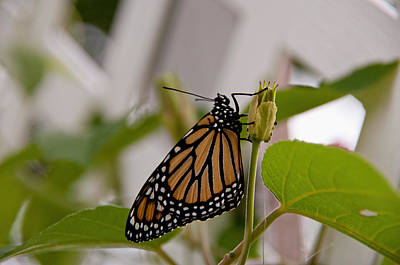 Photograph - Monarch Butterfly by John Black