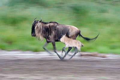 Newborn Wildebeest Calf Running Art Print by Panoramic Images