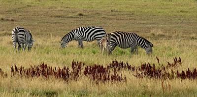 Photograph - Newborn Zebra Foal by Keith Stokes