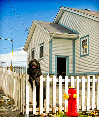 Newfoundland Dog In Newfoundland Art Print