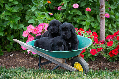 Newfoundland Puppy Photograph - Newfoundland Puppies by Robert Buzzard Jr