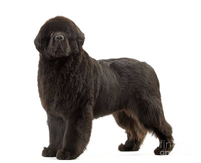 Newfoundland Puppy Photograph - Newfoundland Puppy Dog by Jean-Michel Labat