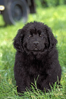 Photograph - Newfoundland Puppy Dog by Rolf Kopfle