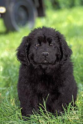 Newfoundland Puppy Photograph - Newfoundland Puppy Dog by Rolf Kopfle