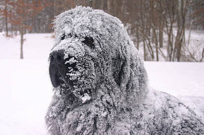 Newfoundland Puppy Photograph - Newfoundland Snow Dog by Edie Ann Mendenhall