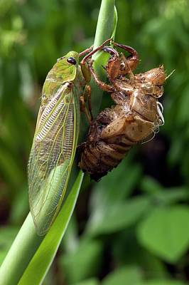 Newly Emerged Green Grocer Cicada Print by Dr Jeremy Burgess