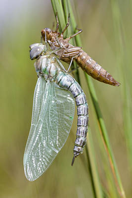 Animals And Insects Photograph - Newly Emerged Subarctic Darner by Alex Huizinga