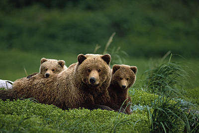 Ngrizzly Bear Mother And Cubs Lay In Art Print by Jo Overholt