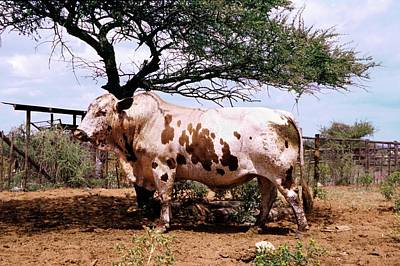 Nguni Bull Art Print by Mike Macneil/us Department Of Agriculture