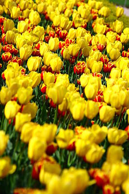 Photograph - Niagara Falls Tulips by Rexford L Powell