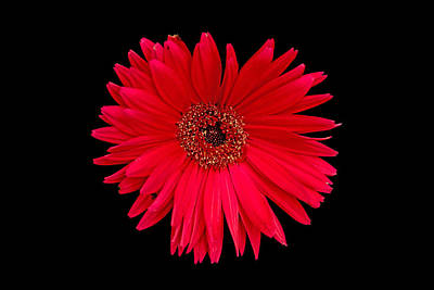 Photograph - Red Gerbera Daisy With Nibbled Petal by Bill Swartwout
