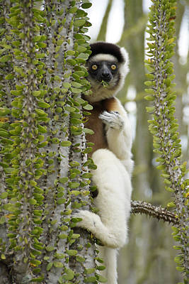 Photograph - Nibbling Sifaka by Michele Burgess